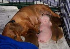 The Dachshund and Pink the Pig