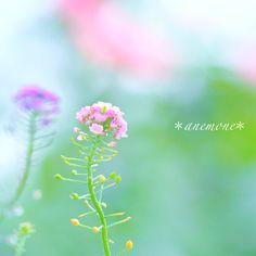 #スイートアリッサム#Sweetalyssum#flower