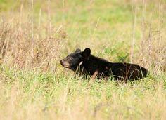 Smoky Mountain Bear Safety