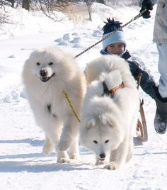 Samoyeds doing what they do best