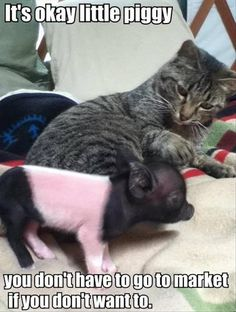 this little piggy went to the market, funny cats