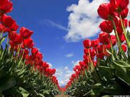 tulips - Google Search