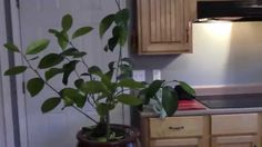 HOW TO GROW AN ORANGE TREE FROM SEED! ON FIRST TRY