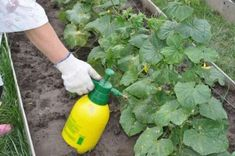 Garden Hose, Vegetable Garden, Plant Needs, All Plants, Spray Bottle, Pergola, Vegetables, Boric Acid, Cucumber