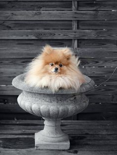 This looks just like my #pomeranian Baileys....what a joy he was and I still miss him soooo much he was soooo CUTE!!