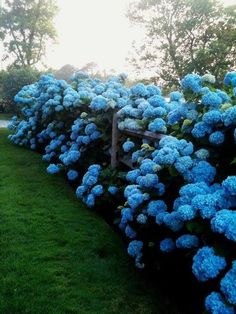 blue hydrangea hedgerow