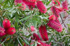 Growing Bottlebrush Plants – Learn About Callistemon Bottleb.- Growing Bottlebrush Plants – Learn About Callistemon Bottlebrush Care Bottlebrush Plant Pruning And Care: How To Grow A Bottlebrush - Fence Landscaping, Backyard Fences, Garden Fencing, Arizona Landscaping, Pool Fence, Trees And Shrubs, Trees To Plant, Flowering Shrubs, Bonsai Trees