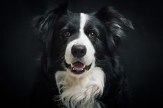Rasseportrait Border Collie von DOG FIT by PreThisⓇ