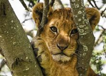 Beautiful Photos of Lion Cubs You Must Not Miss - Utterly Cute Yet Dangerous From Youth I Love Cats, Big Cats, Beautiful Cats, Animals Beautiful, Beautiful Things, Kenya, Baby Animals, Cute Animals, Wild Animals