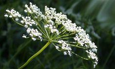 ANASON #sağlık #doğadan sağlık  Enison, Ezeltere, Raziyanei Rumi olarak da bilinir. Çok aromatik, kısa bir bitki olan anason Ortadoğu kökenlidir. Ve Eski Mısırlılar tarafından da yetiştirilmiştir. Dik saplarının üstündeki narin sarı beyaz çiçeklerinin arkasından tohum olarak bilinen aromatik grimsi meyveleri gelir. Meyvesinin sıcak, şekerli bir tadı vardır. www.beyintumoru.gen.tr