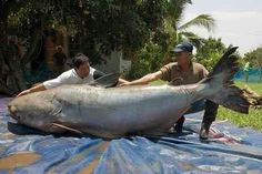At this Mekong Giant Catfish is the largest freshwater fish in the world. With nearly nine feet long meters) and as big as a grizzly bear this huge catfish caught in northern Thailand may be the largest freshwater fish ever recorded by miguel Giant Animals, Large Animals, Stuffed Animals, Giant Fish, Big Fish, Worlds Biggest Dog, World's Biggest, River Monsters, Fishing Tips
