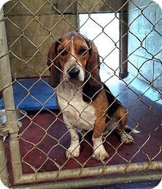 Coshocton, OH - Beagle/Basset Hound Mix. Meet Beagle/Basset Mix, a dog for adoption. http://www.adoptapet.com/pet/13321407-coshocton-ohio-beagle-mix