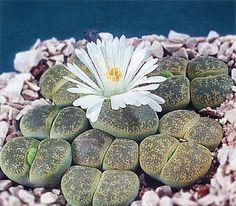 Living-Stones: [Lithops; Family; Aizoaceae]