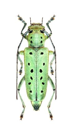 Saperda punctata – CERAMBYCIDAE Subfamily Lamiinae