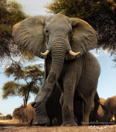 Nature's great masterpiece, an elephant; the only harmless great thing. – … Nature's great masterpiece, an elephant; the only harmless great thing. Elephants Photos, Elephant Pictures, Animal Pictures, Elephant Love, Elephant Art, African Elephant, Elephant Photography, Wildlife Photography, Animal Photography