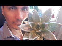 como cuidar da suculenta Echeveria Miranda agavoides estrela mini vaso florir regar muda podar sol - YouTube Mini Vasos, Echeveria, Youtube, Star, Sun, Stuff Stuff, Succulents, Flowers, Youtubers