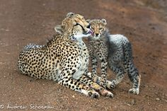 A Young Cheetah cub gets his face washed by mum after feasting on a Impala a few moments before, it was a real treat to watch this Cheetah family interacting and the cubs playfulness after feeding. Photographed on Safari with Africa Geographic and andBeyond.