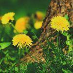 Mancati papadie pentru un ficat si sange sanatos! | La Taifas Flowers, Plant, Royal Icing Flowers, Flower, Florals, Floral, Blossoms