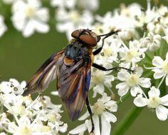 Wantssluipvlieg  (Van vroegevogels)