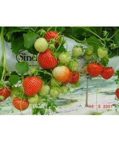 Main Season Cambridge Strawberry Plants. Quality Stock £11.95 for 12 Plants