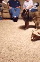 Great Dane Meets A Chihuahua