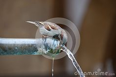 This picture was taken from a fountain of the medieval town of Murten in Switzerland while a sparrow was drinking water Medieval Town, Drinking Water, Switzerland, Fountain, Pictures, Water Still, Photos, Water Well, Photo Illustration