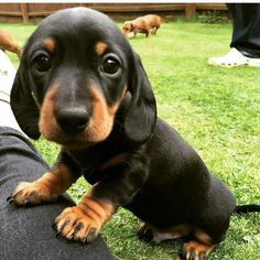 30 Reasons Why You Absolutely Must Have A Dachshund Pup. - Page 5 of 30 - Barmy Pets