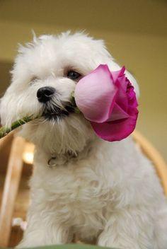 Womaizer maltese  #maltese #dogsofinstagram #pets #puppy