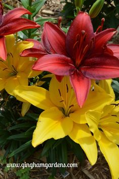 Deep Red and Yellow Dwarf Asiatic Lilies