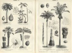 Botanical Print Palm Trees Fishtail Jaggery Toddy 1894 Original ...