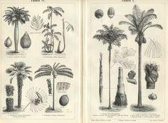 Botanical Print Palm Trees Fishtail Jaggery Toddy 1894 Original ...