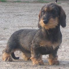 Adorable lil wirehair
