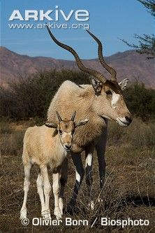 Endangered Species of the Week: Addax