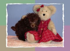 Miniature tea cup Poodles Puppies | Brown Tiny Teacup Poodle Puppy - Female - For Sale - Puppies ...