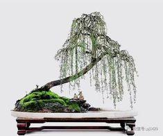 Weeping Bonsai & Old Men Drinking Bonsai Tree Types, Indoor Bonsai Tree, Bonsai Plants, Bonsai Garden, Weeping Willow, Willow Tree, Japanese Bonsai Tree, Bonsai Styles, Wire Trees