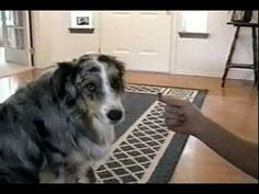 Smart dog knows who not to accept a treat from (VIDEO) » DogHeirs | Where Dogs Are Family « Keywords: treat, trick