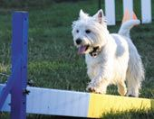 The Ranch, Westies, Rally, Dog Training, Your Dog, Dog Lovers, Terrier, Dogs, Fun