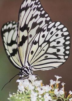 Large Tree Nymph Butterfly by Diane Greco-Lesser