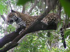 Belize V31PS Jaguar