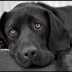 Gorgeous black Labrador Retriever