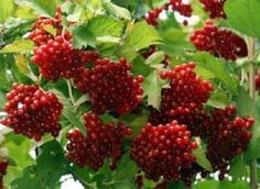 American-Highbush-Cranberry-6-plant-Edible-flowering-berry-sent-in-pot-Kalina