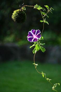 《朝顔》の蔓が空中で伸びる有り様と花弁の美しさに脱帽。  アイデア・ディスプレイ・バランス。  全てにおいて素晴らしい、溜息がでるような苔玉。