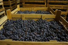 Grapes of Corvina variety are drying in a rare and traditional set in a winery in Valpolicella. Visit our new web site dedicated to independent reports on Amarone and Valpolicella wines.