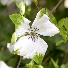 Clematis viticella 'Alba Luxurians'  Clematis Blooms from midsummer to fall, bearing white flowers with green petal tips. It's quite vigorous, climbing to 12 feet. Zones 5-9 Clematis - Plant Encyclopedia - BHG.com
