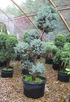 Meyeri Juniper pruned as pom pom (Juniperus squamata 'Meyeri (pom pom)') at Connon Nurseries CBV Dwarf Trees, Trees And Shrubs, Juniperus Squamata, Nurseries, Horticulture, Evergreen, Garden Plants, Outdoors, Babies Rooms