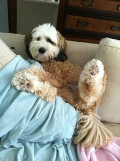 Oliver, a Tibetan Terrier, loves getting comfy....looks like he wants his tummy rubbed!