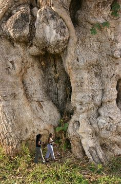 a GIANT tree? or maybe they're walking by the legs of a prehistoric monster with a severe testicle infection. It could happen! Giant Tree, Big Tree, Up Imagenes, Le Baobab, Land Art, Weird Trees, Unique Trees, Old Trees, Tree Shapes