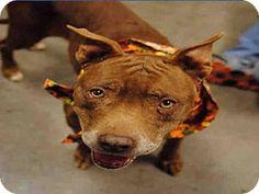 Mesa, AZ - Labrador Retriever Mix. Meet SANDY, a dog for adoption. http://www.adoptapet.com/pet/17299904-mesa-arizona-labrador-retriever-mix