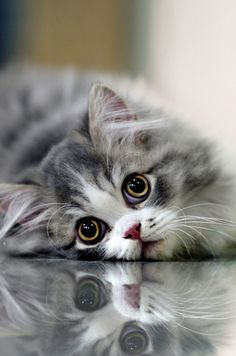 Beautiful blue-grey Persian kitty play'n pick-a-boo with it's reflection.
