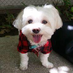 #cutedogs #smalldogs #dogs #teacupdogs #adorable #happy #tinydogs